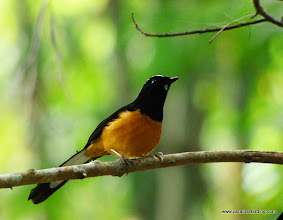 Photo: Bornean endemic White-crowned Shama, Poring Hot Springs