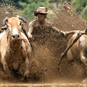 Pacu Jawi in West Sumatera, Indonesia. by Abdul Kadir - Sports & Fitness Other Sports