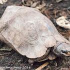 Home's Hingeback Tortoise