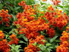 Photo: Trepadeira Mexicana ( Senecio confusus ) - Trepadeira de rápido crescimento e floração. Aceita tanto pleno sol como meia-sombra. Prefere regiões mais quentes. Floresce durante vários meses do ano.
