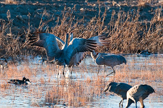 Photo: Two sandhill cranes bickering late the afternoon