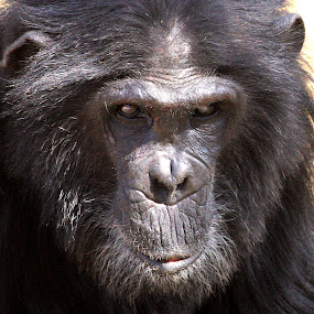 by Kedar Banerjee - Novices Only Wildlife ( potrait, wild, chimp, black )