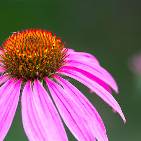 Pretty in Pink by Jennifer Lamanca Kaufman - Novices Only Flowers & Plants ( orange, petals, green, pink, yellow, flower )