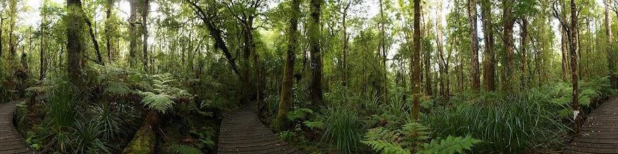 Photo: New Zealand, Northland, Kauri Forest