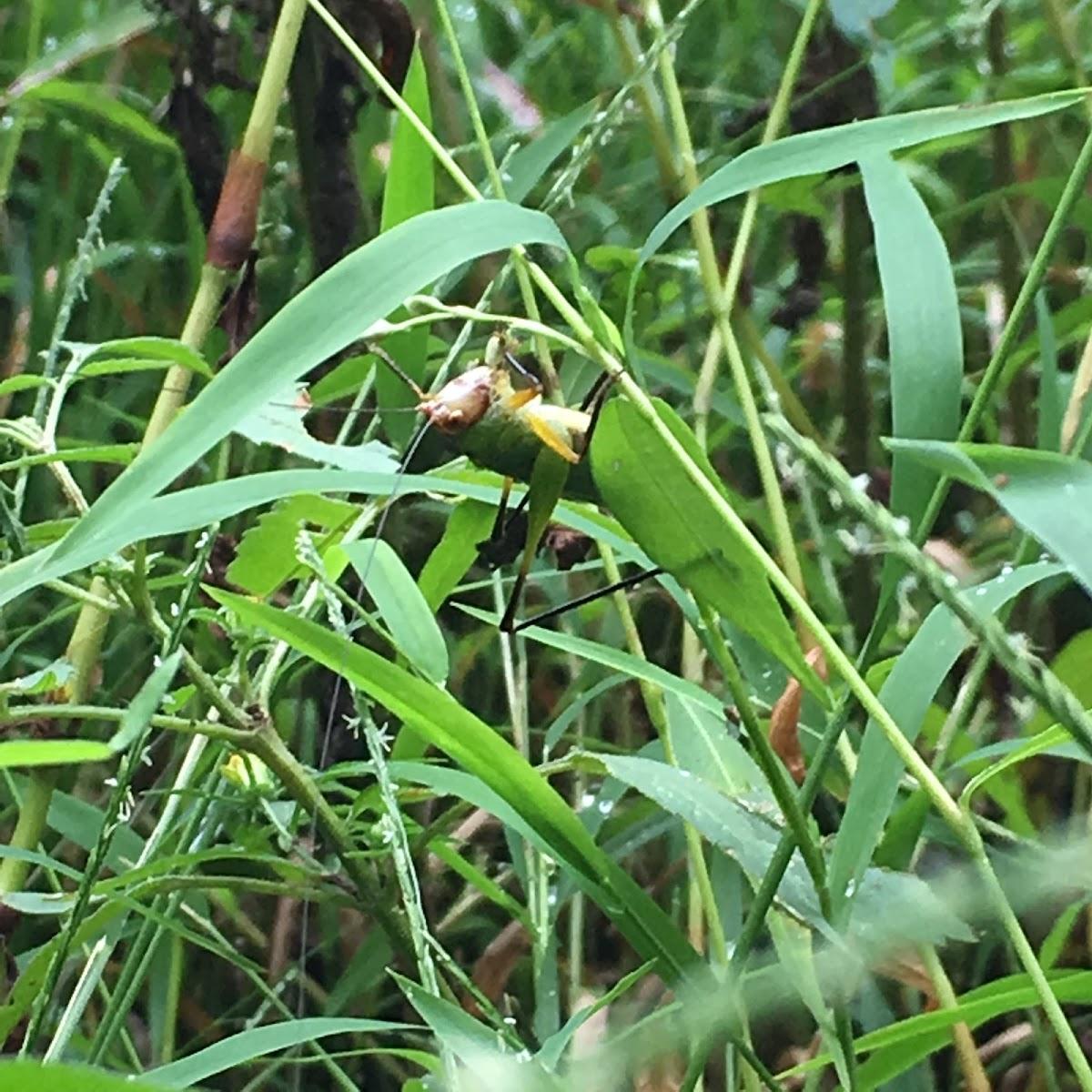 Black-Legged Meadow Katydid