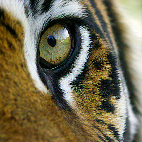 Up Close and Personal by Steve Corcoran - Animals Lions, Tigers & Big Cats
