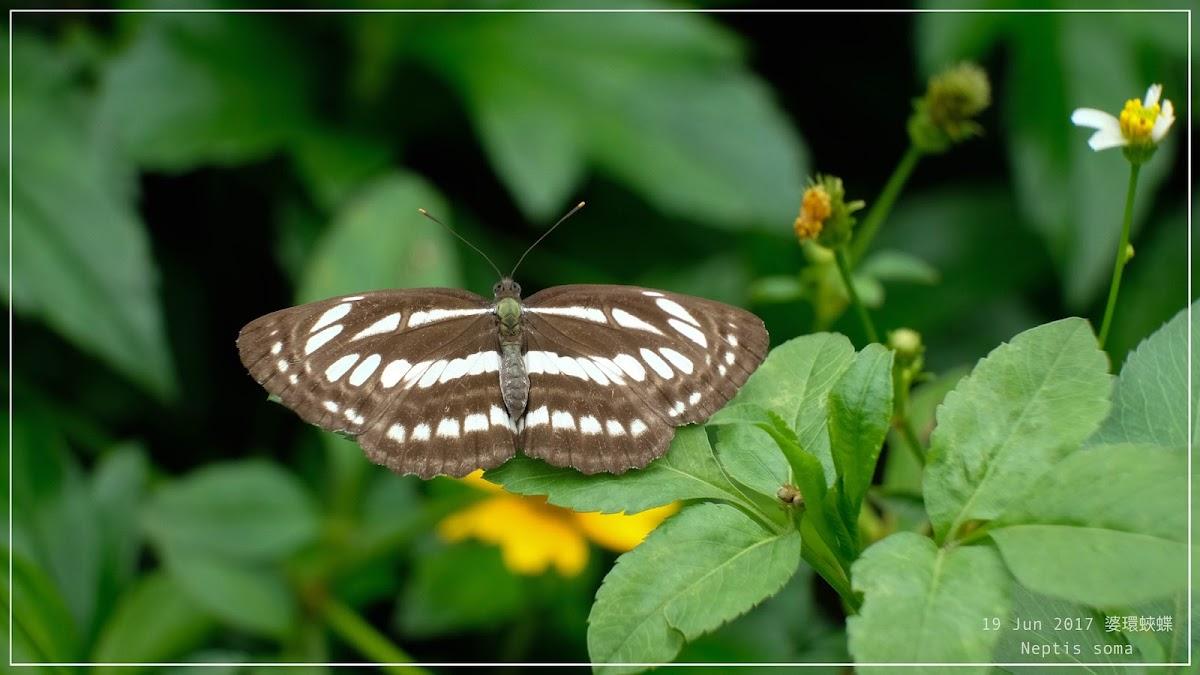 Neptis soma 婆環蛺蝶