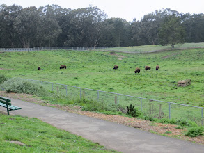 Photo: They're not roamin' and that's not much of a range but those are Buffalo, what we call Bison