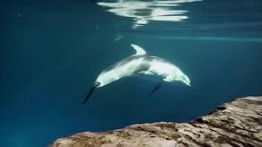 The Shedd Aquarium; Beluga Whales Session, Hospital thumbnail