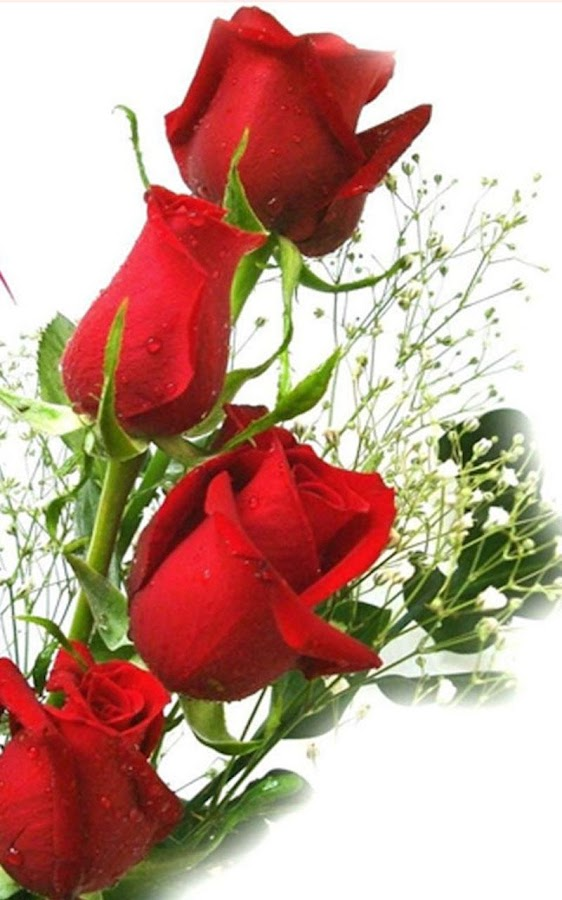 Hd rose flowers live wallpaper android apps on google play - Rose flower images full size hd ...