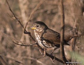 "Photo: ""Sooty"" Fox Sparrow overwintering in the San Francisco Bay Area."
