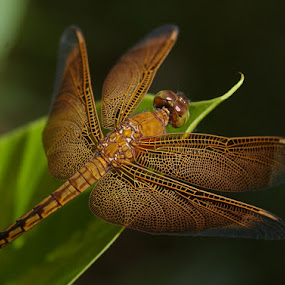 by Norbertus Andreanto Photos - Animals Insects & Spiders