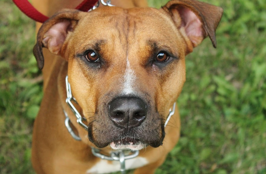 Doggy Detail by Danielle Atchison - Animals - Dogs Portraits ( boxer, focused, brown, mastiff, pit, bull, pitbul, black,  )