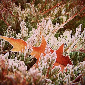 First snow by Cindy Swinehart - Nature Up Close Leaves & Grasses ( winter, snow, fall, frost, maple )