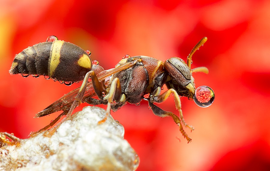 Wasp 150407A by Carrot Lim - Animals Insects & Spiders