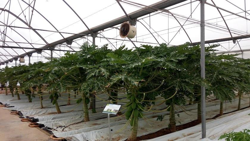 La papaya del sur sale a Europa a través de Hortamar