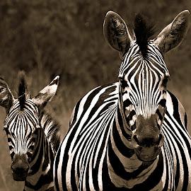 Mom & I by Pieter J de Villiers - Black & White Animals ( mammals, baby zebra, animals, black & white, zebra, mom )