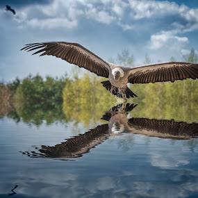 Vulture above water by Egon Zitter - Digital Art Animals ( bird, vulture, bird of prey, wildlife, animal )