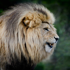the Majestic King by Desiree DeLeeuw - Animals Lions, Tigers & Big Cats ( mammals, nature, wildlife, lions, africa,  )
