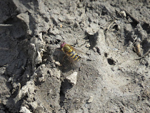 Photo: The Wrekin And my first hoverfly of the year ... (Ed Wilson)