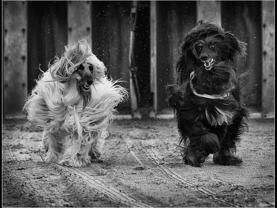 Out of the Traps by Paul Matthews - Animals - Dogs Running ( monochrome, dogs, contest, winner, run, race, running, frontal, racing, event, paw, betting, action, sprint, champion, sand, speed, k9, track, sport, eager, fun, canine, afghan, dust, bet, determined, fast, dog, atmospheric, swift, competition, sprinting )