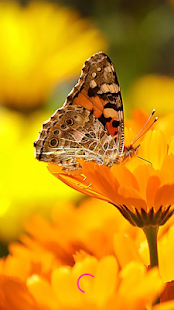 Butterfly HD Images - náhled