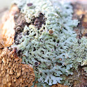 Physcia Lichen