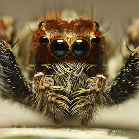 Face To Face by Karthi Keyan - Animals Insects & Spiders ( macro, spider closeup, jumping spider, spider, insects, closeup )