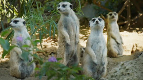 Dining With Meerkats thumbnail