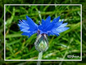 Photo: Bleuet, Cyanus segetum