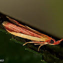 Carmine Snout Moth