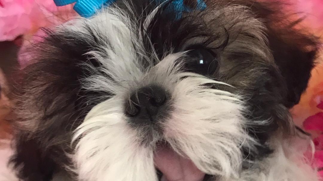 Shih Tzu Puppies For Sale Dog Breeder In San Antonio