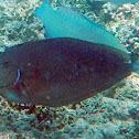 Palefin Unicornfish