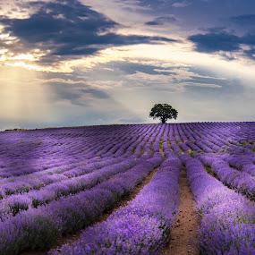 Lavender Valley by Venelin Dimitrov - Landscapes Prairies, Meadows & Fields ( horizon, field, nature, valley, lavender, landscape,  )