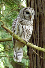 Photo: Barred Owl that is being checked out during A Rocha Bird surveyl