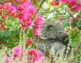 Photo: Colima Tree Squirrel; Rancho Primavera, near Tuito, Jalisco