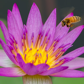 Lovely by Ken Cheung - Nature Up Close Flowers - 2011-2013 ( macro, lotus, bee, water lily )