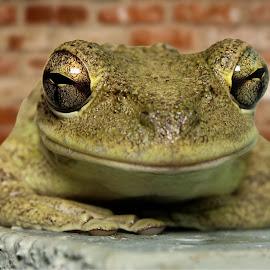 Happy frogger by Sandy Scott - Animals Amphibians ( animals, macro, nature, cuban tree frog, frog, green, tree frog, invasive species, amphibian, wildlife, eyes,  )