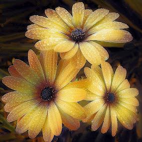 Golden morning glow. by Dave  Horne - Flowers Flower Gardens