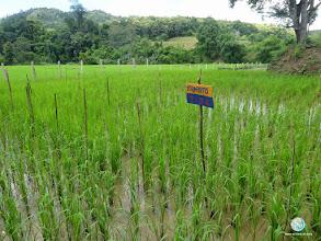 Photo: Farmer practice and SRI treatments with varied seedling  (Ban Khok, Uttaradit)
