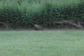 Photo: 18/06/2013 - Toronto, Ottawa - Groundhog at the campground