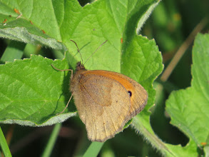 Photo: 8 Jul 13 Woodhouse Lane: Compare with a Meadow Brown at rest. When flying the species are more easily confused but the slightly larger Meadow Brown has a more erratic flight, once learned is easily recognised. (Ed Wilson)