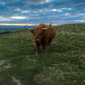 Highland Cow by Iain Cathro - Instagram & Mobile iPhone ( highland, stirling, scotland, beef, sunset, cattle, landscape, animal )