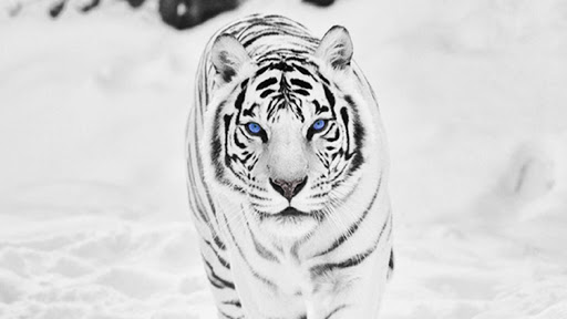 White Tiger Live Wallpaper