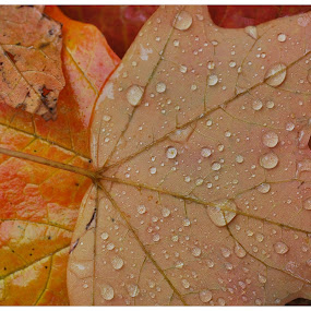 After the Rain by James Bokovoy - Nature Up Close Leaves & Grasses ( water, autumn, fall, raindrops, leaves, fall color )