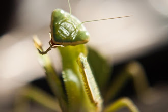 Photo: Praying mantis