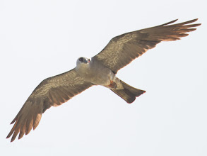 Photo: Mississippi Kite in Sealy Texas