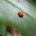 Mariquita / Ladybird