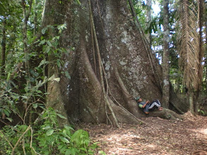 Photo: A ceiba tree with its buttressed roots. Not as old as the one we saw in Vieques during our honeymoon but pretty impressive nonetheless.