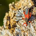 Red Assassin Bug